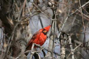 Ein neugieriger Cardinal