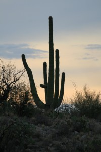 Saguaro Kaktus bei Sonnenuntergang