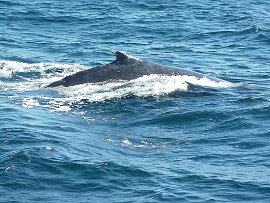 Buckelwal beim Auftauchen