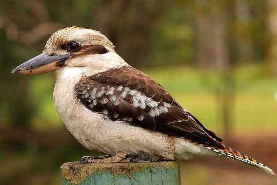 Australian Kookaburra - image by Eric Hossinger from commons.wikimedia.org
