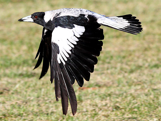 Australian Magpie - by Fir0002/Flagstaffotos from commons.wikimedia.org under http://en.wikipedia.org/wiki/GNU_Free_Documentation_Licenseer